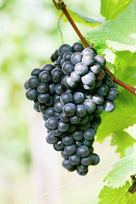 Styria Photograph - Red Wine Grapes On The Vine by Foodcollection