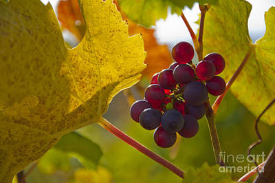 Photograph - Red Wine Grapes by Owen Weber