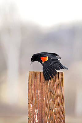 Photograph - Red Wing Black Bird On Post by Deb Buchanan