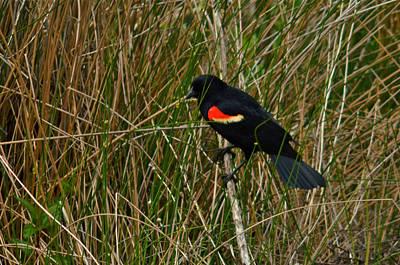 Photograph - Red Wing Blackbird 4 by Greg Vizzi