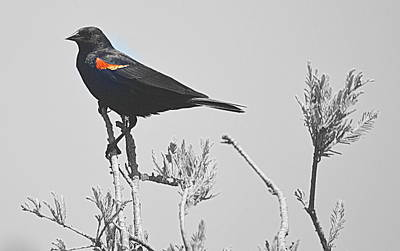 Photograph - Red Wing Blackbird by AJ  Schibig