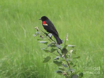 Photograph - Red Wing Blackbird by Michelle Welles
