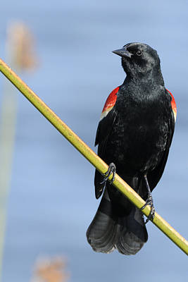 Photograph - Red Wing Blackbird On Reed by Bradford Martin