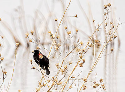 Photograph - Red Winged Black Bird by Deb Buchanan