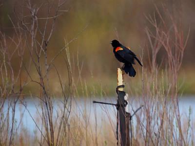 Blackbird Digital Art - Red Winged Blackbird 2 by Ernie Echols