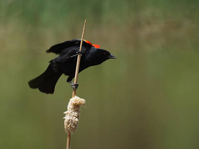 Blackbird  - Red Winged Blackbird 3 by Ernie Echols