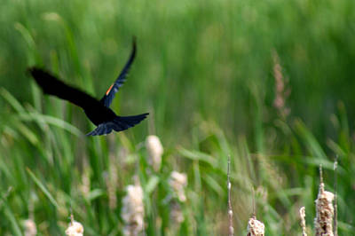 Creative Blackbird Photograph - Red Winged Blackbird by Andrew Lahay