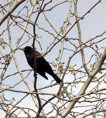 Photograph - Red Winged Blackbird by Bonnie Muir