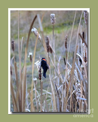 Photograph - Red Winged Blackbird by Chris Anderson