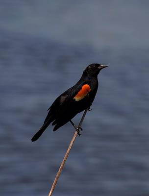 Sports Royalty-Free and Rights-Managed Images - Red winged blackbird by David Tennis