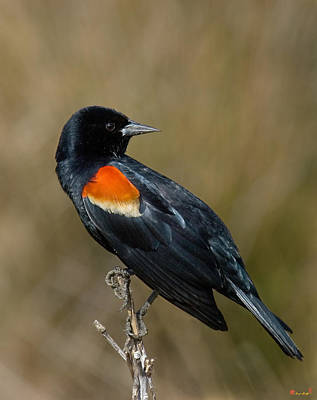 Photograph - Red-winged Blackbird Dsb009 by Gerry Gantt