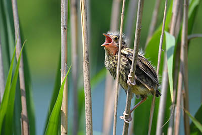 Photograph - Red Winged Blackbird Fledgling by Ann Bridges