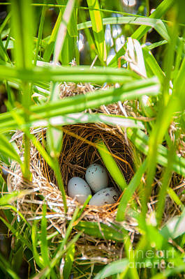 Photograph - Red-winged Blackbird Nest by Cheryl Baxter