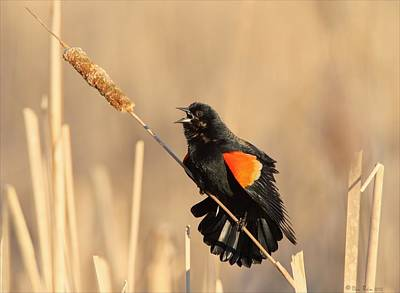 Red Winged Blackbird On Cattail Art Print by Daniel Behm