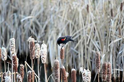 Photograph - Red Winged Blackbird On Cattails by Chris Anderson