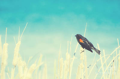 Photograph - Red-winged Blackbird On Cattails by Jim And Emily Bush
