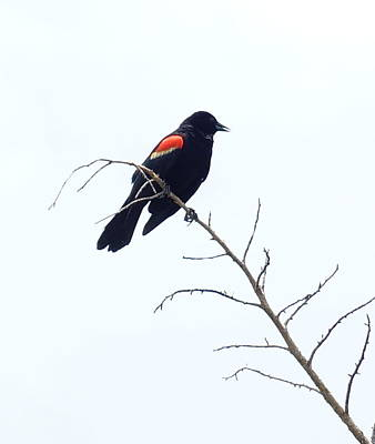 Red-winged Blackbird Art Print by Paul  Wilford
