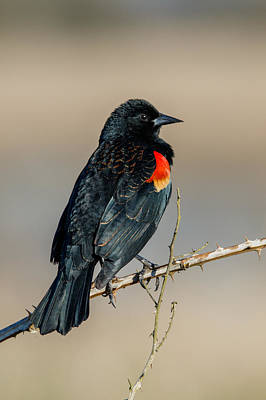 Photograph - Red Winged Blackbird Portrait by Angie Vogel