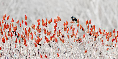 Photograph - Red-winged Blackbird by Steven Ralser