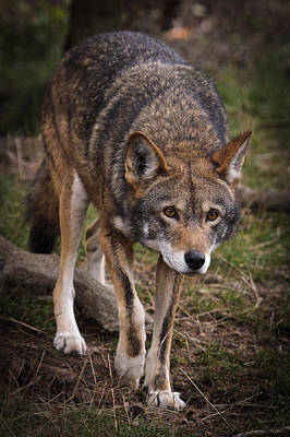 Photograph - Red Wolf Approach by Wes and Dotty Weber