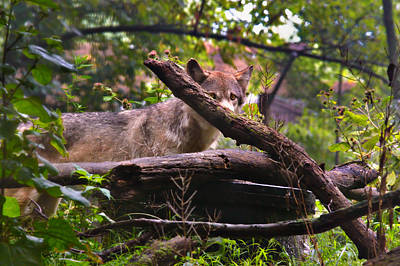 Photograph - Red Wolf by Mary Almond