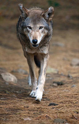 Photograph - Red Wolf Strut by Karol Livote