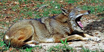 Photograph - Red Wolf Yawning by Millard H. Sharp