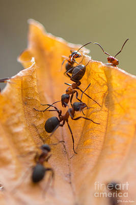 Food And Flowers Still Life Rights Managed Images - Red Wood Ants Path Royalty-Free Image by Jivko Nakev