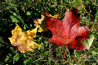 Photograph - Red Yellow Maple Leaves  by Kerri Mortenson