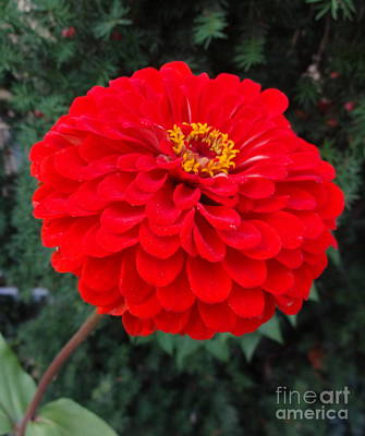 Photograph - Red Zinnia 1 by Rod Ismay