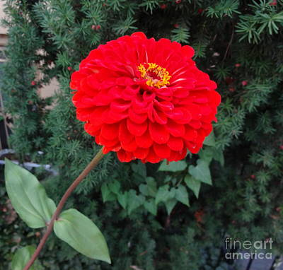 Photograph - Red Zinnia 2 by Rod Ismay