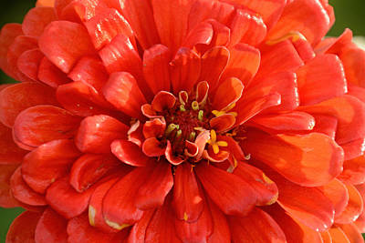 Photograph - Red Zinnia  by Jeanne May