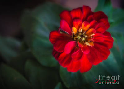 Photograph - Red Zinnia by Kathleen K Parker