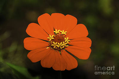 Photograph - Red Zinnia  by Mary Carol Story