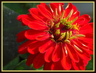 Art Print featuring the photograph Red Zinnia With Yellow by Heidi Manly