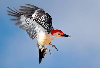 Wood Pecker Photograph - Redbellied Woodpecker by Bill Wakeley