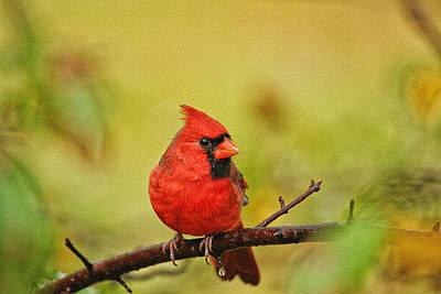 Photograph - Redbird by Karol Livote