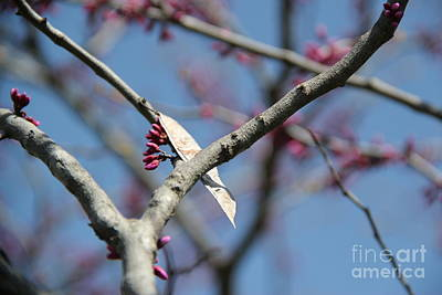 Photograph - Redbud by A K Dayton