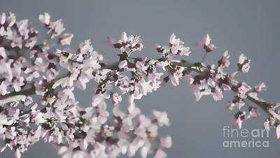 Photograph - Redbud Branch by Jim And Emily Bush