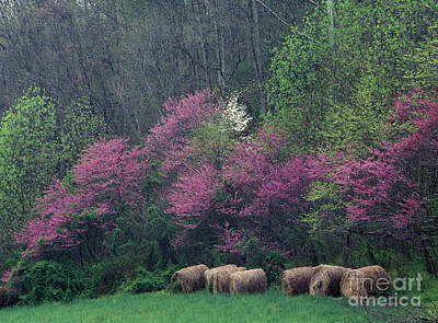 Indiana Dogwood Trees Photograph - Redbud - Fm000095 by Daniel Dempster