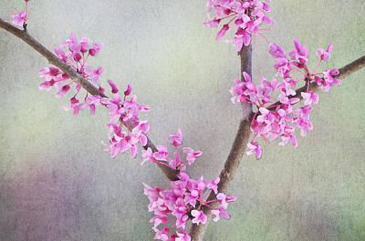 Redbud Photograph - Redbud In Spring by Randy Walton