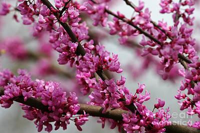 Photograph - Redbud Tree Blooms by Jill Lang
