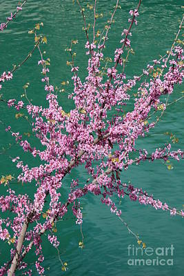 Redbuds Over San Antonio River Art Print by Carol Groenen