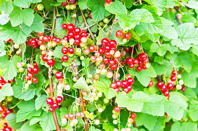 Gathering Photograph - Redcurrants by Tom Gowanlock