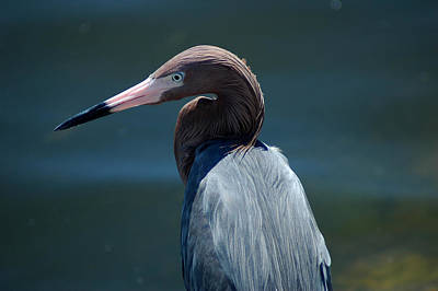 Photograph - Reddish Egret 3 by David Weeks