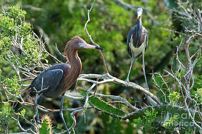 Reddish Egret And Tricolored Heron Art Print by Gregory G. Dimijian