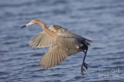 Reddish Egret Dance Fishing Art Print by Anthony Mercieca