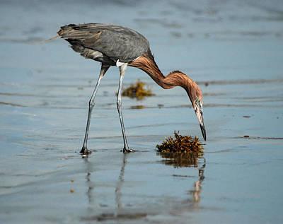 Gulf Coast Photograph - Reddish Egret by David Mortenson