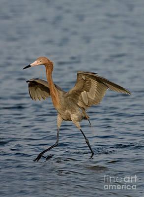 Reddish Egret Doing Fishing Dance Art Print by Anthony Mercieca