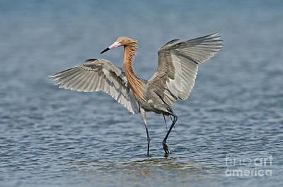 Reddish Egret Fishing Art Print by Anthony Mercieca